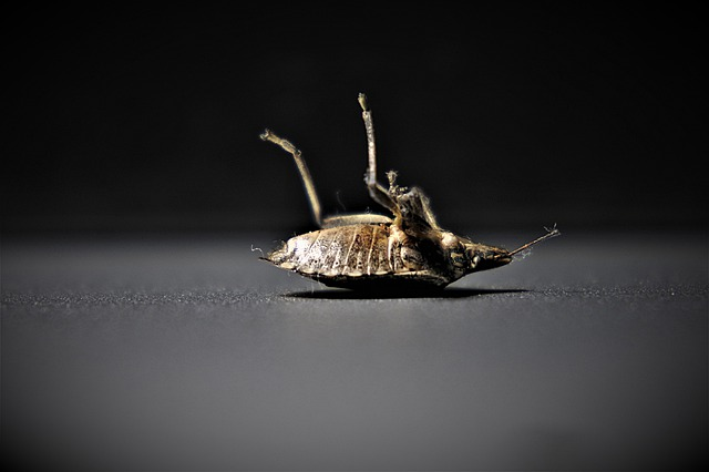 How to gert rid of bedbugs